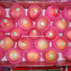 Fresh Qinguan Apple Red Apple