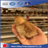 H Type Pullet Chicken Cage for Sale in Philippines/Africa