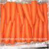 2017 Hot Sale Green Health Fresh Carrot From China. Exporter