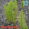 Horsetail Extract / Equisetum Arvense Extract / Organic Silica