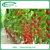 Coco peat hydroponic growing system for tomato