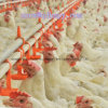 Professional Automatic Equipment in Poultry House with Design and Installation