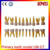 Hot Sale Primary Teeth Model with Straight Roots