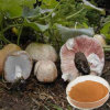 Nutrition Supplement: High Quality Agaricus Blazei Murill P. E. (FH-C-051)