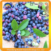 100% Natural Blueberry Extract