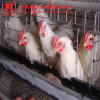 2016 Hot Sale! Automatic a Type Layer Chicken Cages Henan Jinfeng Designs