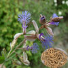 Traditional Chinese Herb: Polygala Tenuifolia Extract