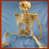 Factory Direct Human Skeleton Medical Teaching Anatomical Model