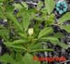 Fenugreek Seed Extract / Trigonella Foenum-Graecum / 4-Hydroxyisoleucine / Saponins