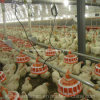 Automatic Poultry Farm Breeder Equipment for Parent Broiler