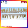 China Dental Material Permanent Teeth Model