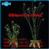 High Purity Gibberellin Powder Ga for Agricultural Use