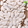 Chinese New Crop Snow White Pumpkin Seeds with Top Quality From Heilongjiang Origin