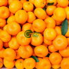 Fresh Nanfeng Baby Mandarin Orange in High Quality