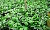 100% Natural Sanchi Sanqi Extract with 80% Notoginsenosides100PCS/0.5kg