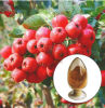 Manufacturer of Hawthorn Concentrate Extract