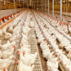 Full Automatic Controlled Feeding Equipment for Chicken