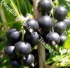 Black Currant Extract Anthocyanins 25~35%UV