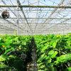 Hot Sale Multi-Span Glass Greenhouse for Vegetable