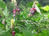 Pueraria Lobata Extract Isoflavone and Puerarin