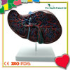 Anatomical Human Liver Model with Gallbladder Model