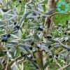 Olive Leaf Extract / Olea Europaea Extract / Oleuropein / Hydroxytyrosol
