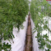 Commercial Substrate Hydroponics System for Tomato