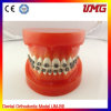 Dental Model, High Quality Dental Model with 32 Teeth