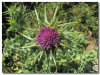 Silybin Milk Thistle Extract CAS No.: 22888-70-6