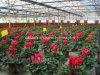 100% Organic Sophocarpidine Plant Matrine Extract 10-60%