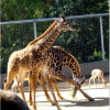Giraffe Enclosure Mesh Fence/Stainless Steel Wire Rope Mesh/Netting