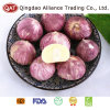 Top Quality Fresh Solo Garlic in Bags