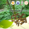 100% Natural Herb Medicine Erythrina Indica Lam