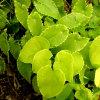 Natural Epimedium Leaf Extract 20% Icarrin