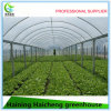 Multi-Span Film Greenhouse in Galvanized Steel Frame