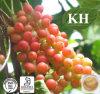 Schizandra Berry Extract Polysaccharides and Schisandrins