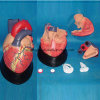 Human Heart Anatomy Medical Teaching Equipment Model (R120102)