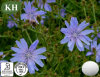 Natural High Quality Chicory Extract: Inulin 90%-95%