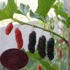 High Quality Mulberry Fruit Extract (Anthocyanins)