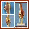 Human Functional Knee Joint Model for School Teaching