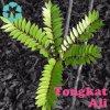 Tongkat Ali Extract / Eurycoma Longifolia Extract