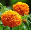 Marigold Flower Extract Zeaxanthin 5%~80% HPLC