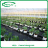 Plastic film cover greenhouse for tomato growing