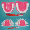 Medical Demonstration Human Normal 28 Teeth Dental Model