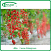 Substrate Hydroponic System for Cherry