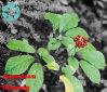 American Ginseng Extract / Panax Quinquefolium L. / Ginsenosides