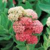 Rosavins Salidroside Rhodiola Rosea Extract