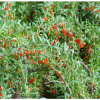 Freeze-Dry Goji Berry in Ningxia