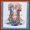 Vivid Human Anatomy Neck Vessel Demonstration Model