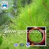 20%-95% Pine Needle Extract Ropren